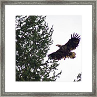 Eagle In Flight Framed Print by Ben Upham III