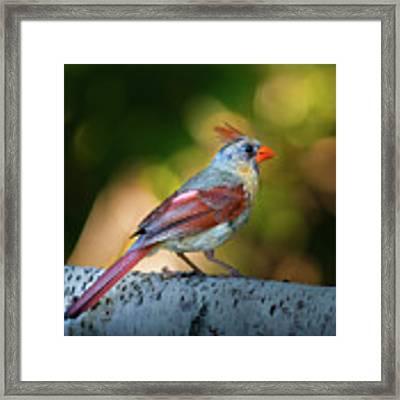 Female Northern Cardinal Framed Print by Bob Orsillo