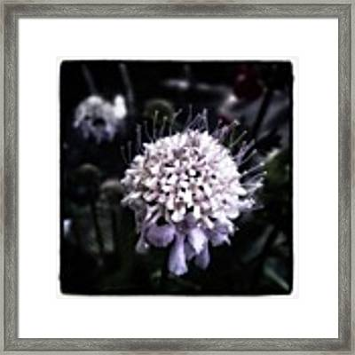 Field Scabious. A Member Of The Framed Print by Mr Photojimsf