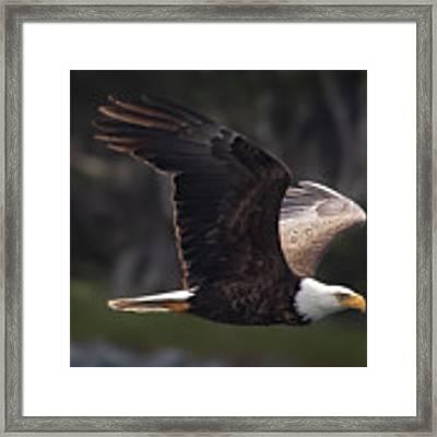 Flying Eagle Framed Print by David A Lane