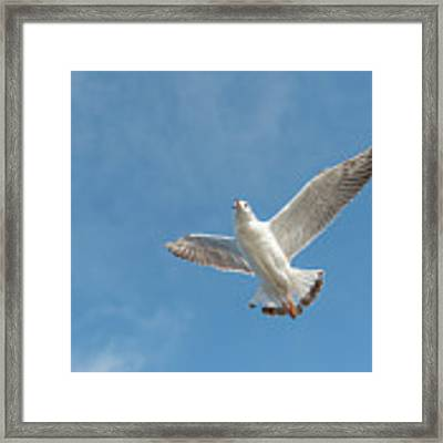 Flying Seagull Framed Print by Pradeep Raja PRINTS
