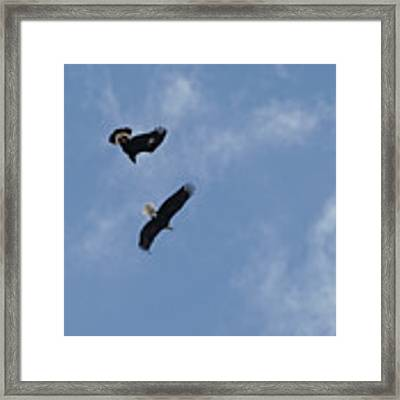 Golden Eagle Vs. Bald Eagle Framed Print by Bill Gabbert