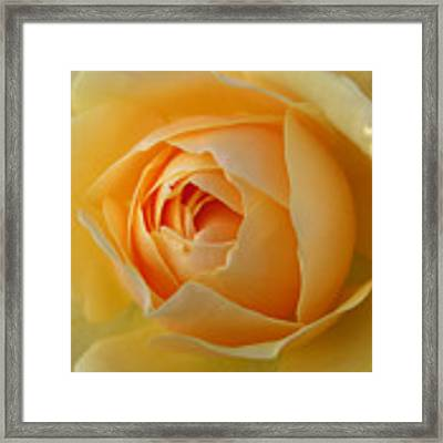 Graham Thomas Old Fashioned Rose Framed Print by Jocelyn Friis