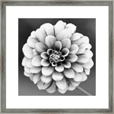Graytones Flower Framed Print
