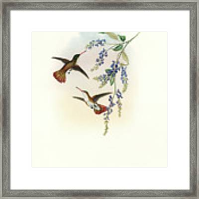 Green-fronted Hummingbird Amazilia Viridifrons Framed Print by John and Elizabeth Gould