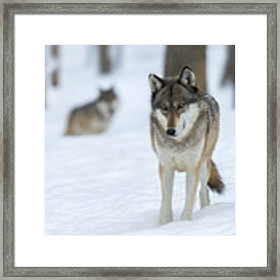 Grey Wolf In Snow With Wolf In Distance Framed Print by Dan Friend