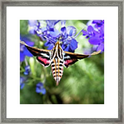 Horned Moth Framed Print by Scott Cordell