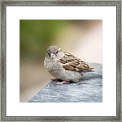 House Sparrow Framed Print by Scott Lyons