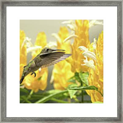 Hummingbird Reaches For The Gold Framed Print by William Jobes