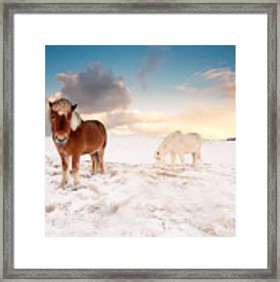 Icelandic Horses On Winter Day Framed Print