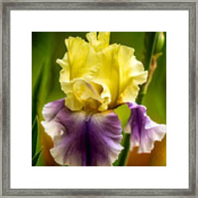 Iris Framed Print by Claudia Abbott