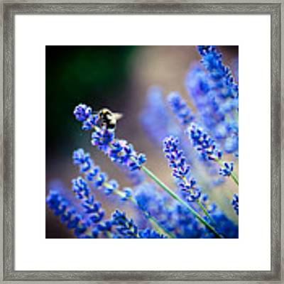 Lavander Flowers Macro With Bee In Lavender Field Framed Print by Raimond Klavins