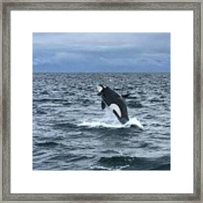 Leaping Orca Framed Print by Barbara Von Pagel