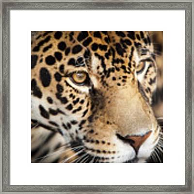 Leopard Face Framed Print by John Wadleigh