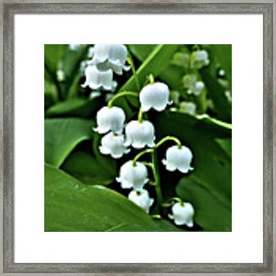 Lilly Of The Valley Flowers Framed Print by Jeremy Hayden