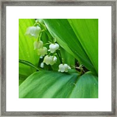 Lily Of The Valley Framed Print by Jeremy Hayden