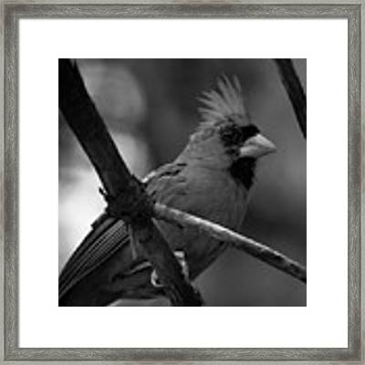 Male Northern Cardinal Framed Print by Bob Orsillo