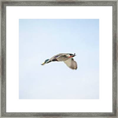 Mallard In Motion Framed Print by Jason Coward