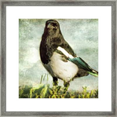 Message From The Magpie Framed Print by Belinda Greb