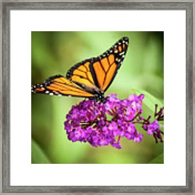 Monarch Moth On Buddleias Framed Print by Carolyn Marshall