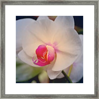 Moth Orchid 1 Framed Print by Kate Word