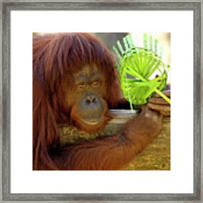 Orangutan Framed Print by Carolyn Marshall