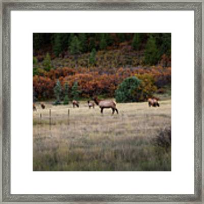 Pagosa Autumn Elk Framed Print by Jason Coward