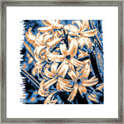 Painted Hyacinth Framed Print by William Havle