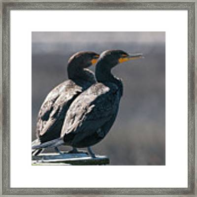 Pair Double-crested Cormorant 3 March 2018 Framed Print by D K Wall