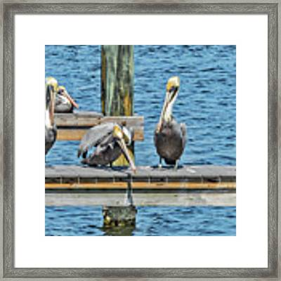 Pelicans Waiting For Their Ship To Come In Framed Print by Bob Slitzan