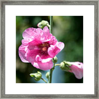 Pink Flower Framed Print by Yew Kwang