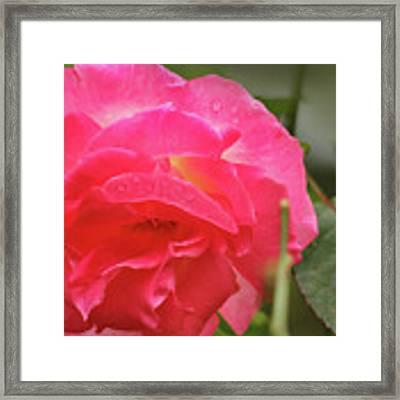Pink Rose Framed Print by Kelly Hazel
