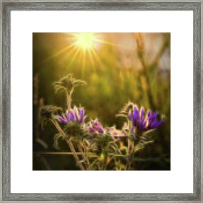 Purple Aster Glow Framed Print by Beth Sawickie