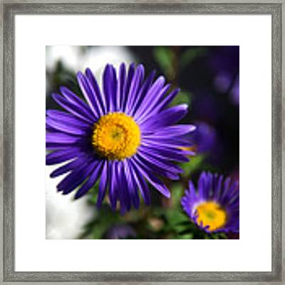 Purple Daisy Framed Print by Yew Kwang