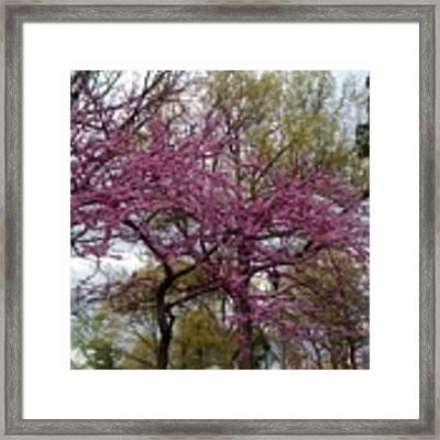 Purple Spring Trees Framed Print by Rachel Maynard