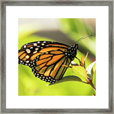 Queen Butterfly Framed Print by Bob Slitzan