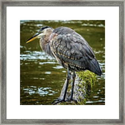 Rainy Day Heron Framed Print by Belinda Greb