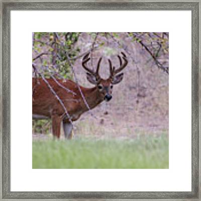 Red Bucks 2 Framed Print by Antonio Romero