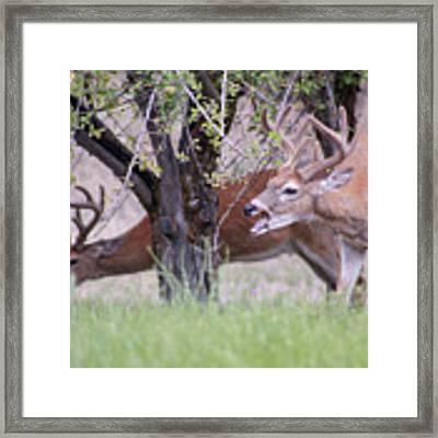 Red Bucks 5 Framed Print by Antonio Romero