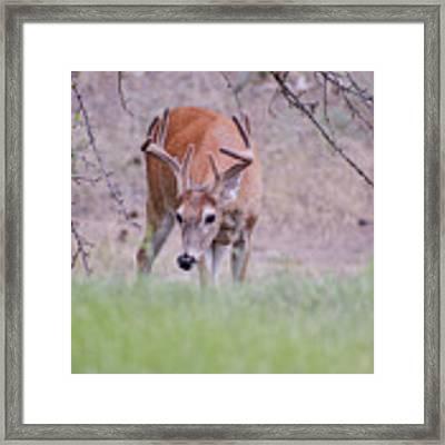 Red Bucks 6 Framed Print by Antonio Romero
