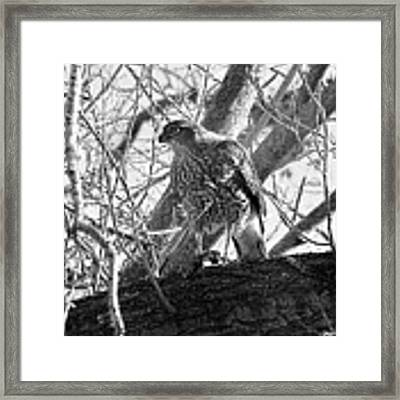 Red Tail Hawk In Black And White Framed Print by Deleas Kilgore
