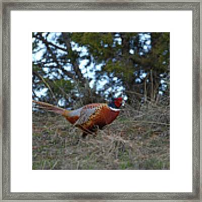 Ring Necked Pheasant Framed Print by David Armstrong