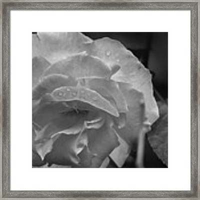 Rose In Black And White Framed Print by Kelly Hazel