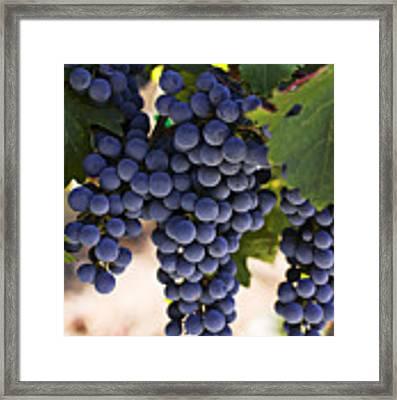 Sauvignon Grapes Framed Print