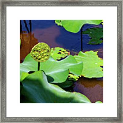 Seeds Of Lotus Framed Print by Yen