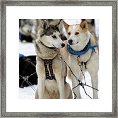 Sled Dogs Framed Print by David Buhler