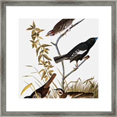Sparrows Framed Print by John James Audubon