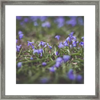 Spring Flowers - Scilla Framed Print by Viviana Nadowski