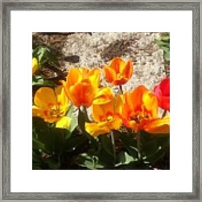 Springtime Flowers Framed Print by Rachel Maynard