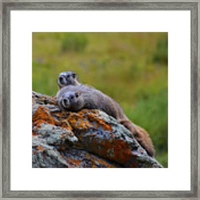 Sunbathing Marmots Framed Print by Kate Avery